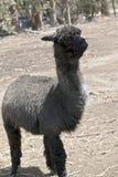 Alpaka in einer Koppel lizenzfreie stockfotos