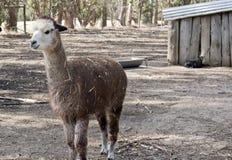 Alpaka in einer Koppel stockbilder