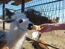 Alpaka feeding. Feeding bread to Alpaka in the fence stock image