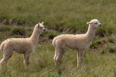 Alpaka im Medow lizenzfreies stockbild