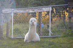 Alpaka ist, betrachtend sitzend und die Kamera stockbild