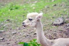 Alpaka-Kopf-Porträt Vicugna Pacos weißes stockfotografie
