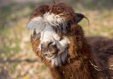 Alpaka-Lama lizenzfreie stockfotografie