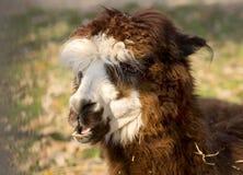 Alpaka-Lama stockfotos