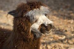 Alpaka-Lama lizenzfreie stockfotos