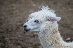 Alpaka, Lama lizenzfreies stockfoto
