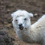 Alpaka, Lama stockfotos