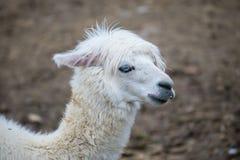 Alpaka, Lama lizenzfreies stockbild