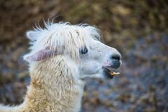 Alpaka, Lama lizenzfreie stockfotos