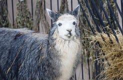 Alpaka-Lama lizenzfreies stockfoto