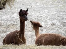 Alpaka, Lama guanicoe f Pacos, in Südamerika ist ein Haustier stockfoto
