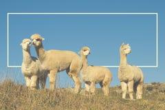 Alpaka Lama Shaggy Field Mountain Animals Concept Lizenzfreies Stockbild