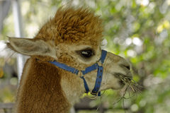 Alpaka, Lamawollen oder Haustier Lizenzfreies Stockfoto