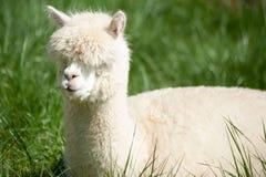 Alpaka lanuginoso Fotografie Stock