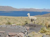 Alpaka nel lago Immagini Stock