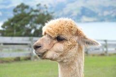 Alpaka, Neuseeland Stockfoto