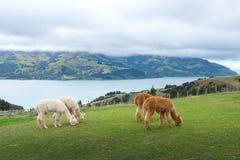 Alpaka, Neuseeland Stockfotografie