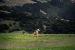 Alpaka, Neuseeland Lizenzfreies Stockbild