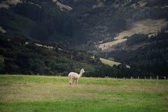 Alpaka, Neuseeland Lizenzfreie Stockfotos