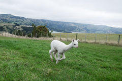 Alpaka, Neuseeland Stockfotos
