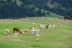 Alpaka, Neuseeland Lizenzfreies Stockfoto