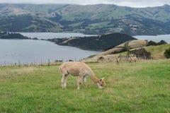 Alpaka, Neuseeland Stockbild