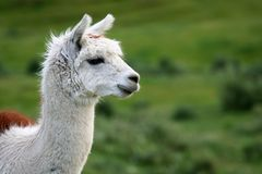 Alpaka-Portrait Lizenzfreie Stockfotos
