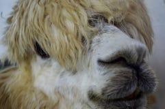 Alpaka ` s Gesicht Stockbild