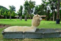 Alpaka setzen sich hin Stockbild