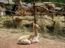 Alpaka und Guanacos auf Lama bewirtschaften in Peru lizenzfreies stockbild