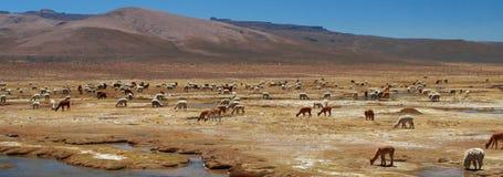 Alpaka und Lama lizenzfreie stockfotos