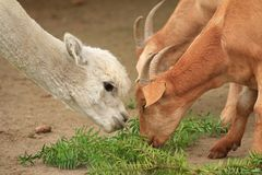 Alpaka und Ziegen essen das Mittagessen zusammen lizenzfreie stockfotos