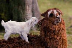 Alpaka- und Ziegenkind Stockfoto