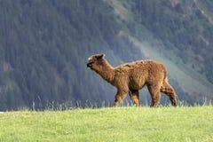 Alpaka Vicugna pacos auf einer grünen Wiese auf einem Hintergrund von moun lizenzfreie stockfotografie