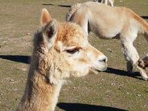 Alpaka von Peru lizenzfreie stockbilder