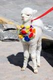 Alpakababy in den Anden - Peru America lizenzfreie stockfotos
