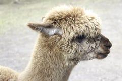 Alpakaporträt Lizenzfreies Stockfoto