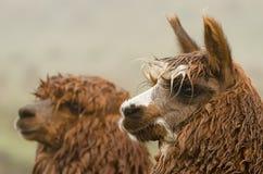 Alpakas Stockfoto