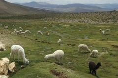 Alpakas auf einer Rasenfläche in den Bergen Lizenzfreies Stockfoto
