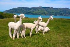 Alpakas bianchi Fotografia Stock Libera da Diritti