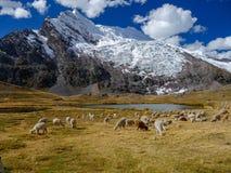 Alpakas in den peruanischen Anden stockbild