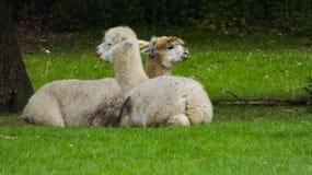 Alpakas in der Liebe und im Genießen des Momentes lizenzfreie stockfotografie