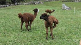 Alpakas in der Weide stock video