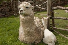 Alpakaschätzchen und -mutter Lizenzfreies Stockfoto