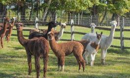 Alpakastand in der Weide stockfotografie