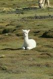 Alpakka del bambino fotografie stock libere da diritti