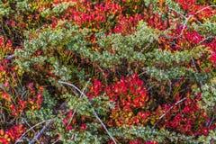 Alpe devero autumnal mountain landscape. Blue berry shrubbery close-up inside the Alpe Devero royalty free stock image