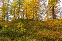 Alpe devero autumnal mountain landscape. Blue berry shrubbery in the foreground with larches trees in the background inside the Alpe Devero royalty free stock photos