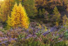 Alpe devero autumnal mountain landscape. Blue berry shrubbery in the foreground with larches trees in the background inside Alpe Devero mountain stock images
