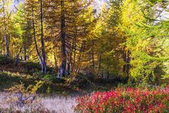 Alpe devero autumnal mountain landscape. Blue berry shrubbery in the foreground with larches trees in the background inside Alpe Devero mountain royalty free stock image